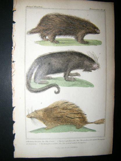 Cuvier C1835 Antique Hand Col Print. The Urson, Prehensile Tailed, Porcupine, The Pencil Tailedn Porcupine, 41 | Albion Prints